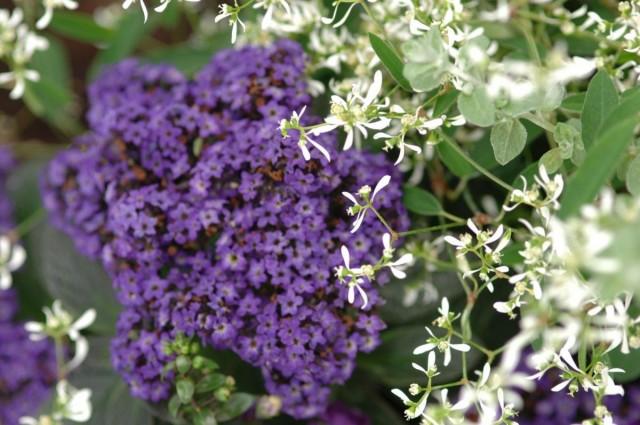 Гелиотроп перуанский и эуфорбия гибридная в цветнике