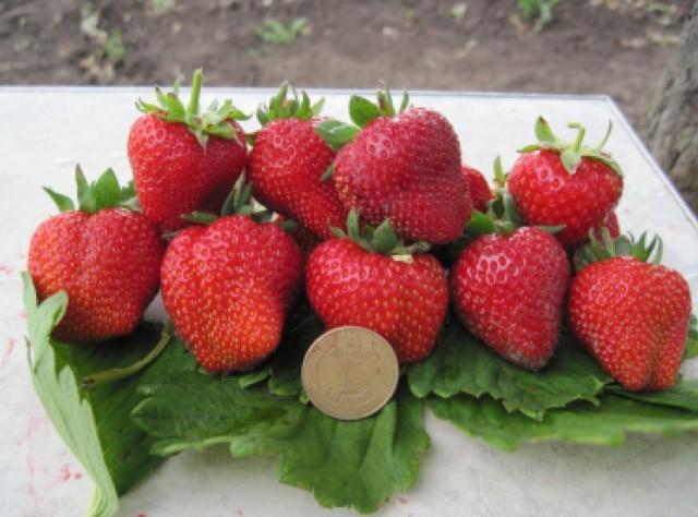Клубника крупноплодная - сорт «Примелла»