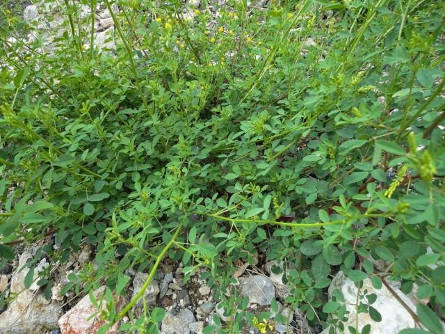 Общий вид растения донник лекарственный