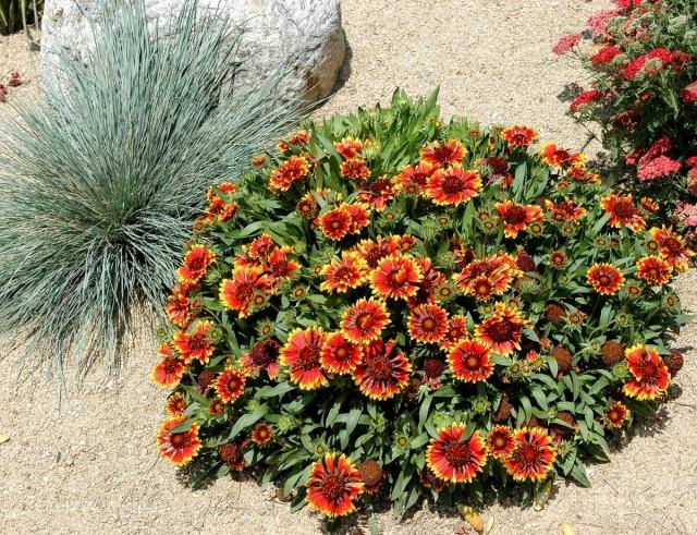 Гайллардия крупноцветковая (Gaillardia х grandiflora)