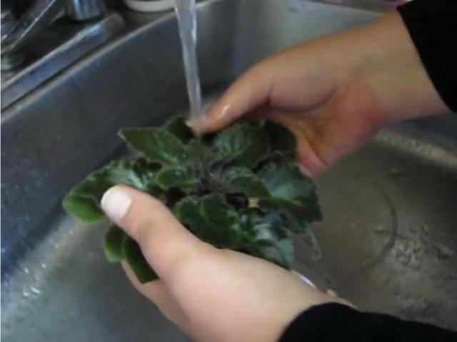 Как помыть листья сенполии (узамбарской фиалки)