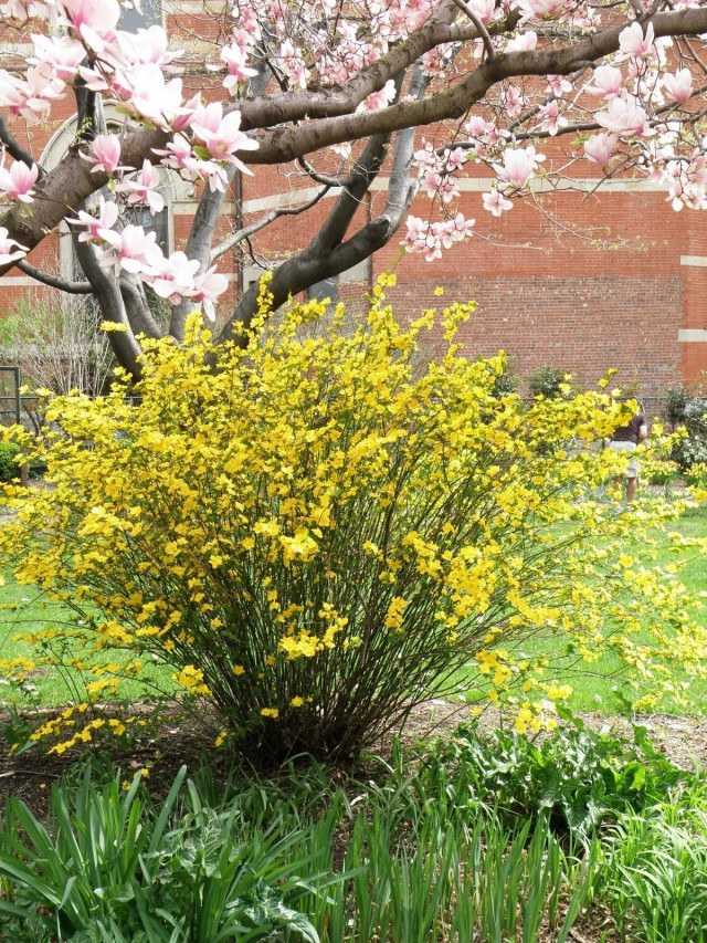 Керрия японская (Kerria japonica)