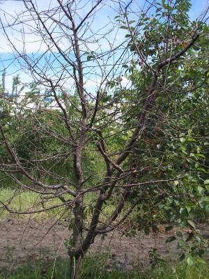 Погибшее от коккомикоза дерево вишни