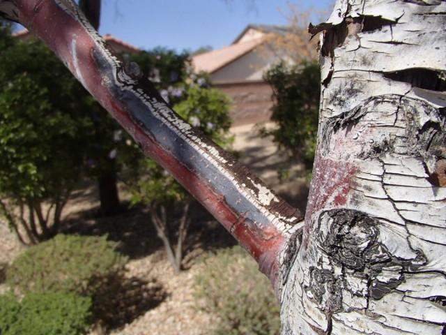 Солнечные ожоги на коре плодового дерева