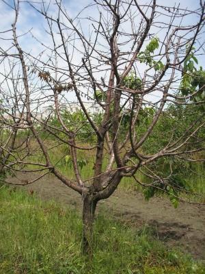 Погибшее от монилиоза дерево вишни