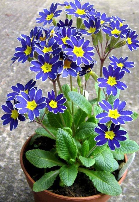 Primula-Blue-Lace-Mary-2