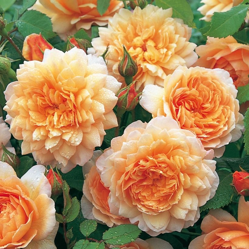 Rosa-Grace-1