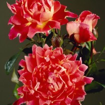 Роза «Спаклин Раффлс» (Rosa 'Sparkling Ruffles')