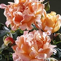 Роза «Раффлс Дрим» (Rosa 'Ruffles Dream')