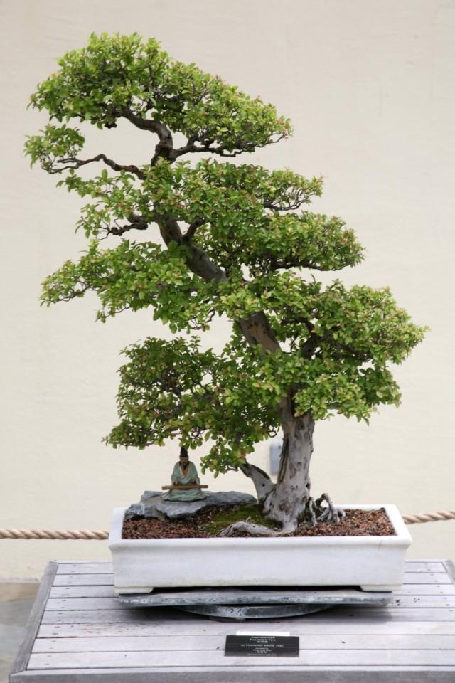 Бонсай сагереция чайная (Sageretia thea)