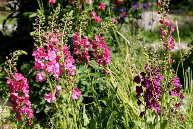 Коровяк фиолетовый (Verbascum phoeniceum)