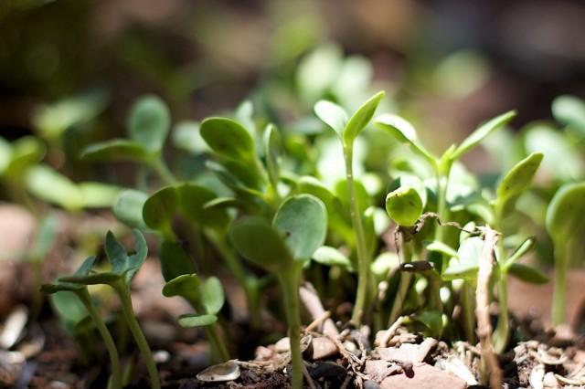 Проращивание семян с применением микробиологических удобрений
