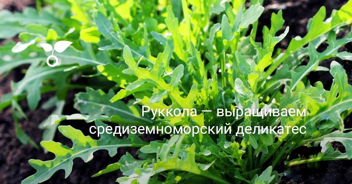 Рукола выращивание и уход в открытом грунте