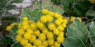 Аяния тихоокеанская, или хризантема тихоокеанская (Ajania pacifica)
