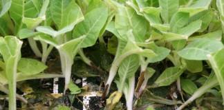 Чёрная ножка на рассаде табака