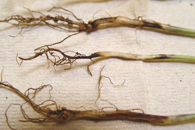 Пораженные чёрной ножкой корни и стебли рассады