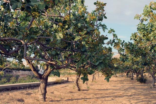 Плантация фисташки настоящей, или фисташкового дерева (Pistacia vera)