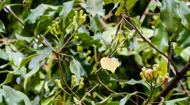 Бутоны (цветочные почки) гвоздичного дерева (Syzygium aromaticum)