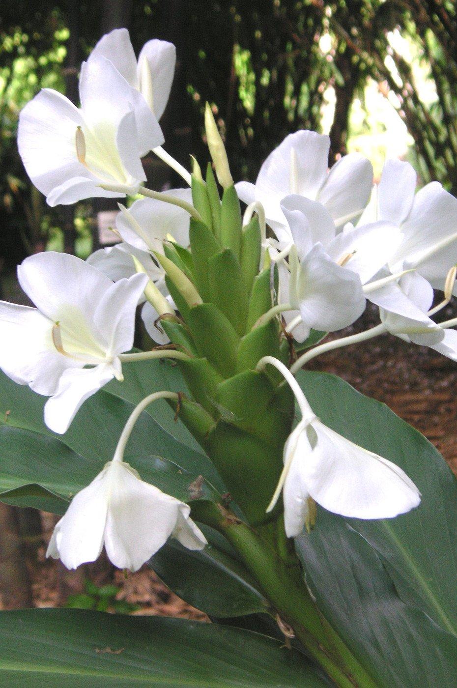 Гедихиум — тропический яванский имбирь.