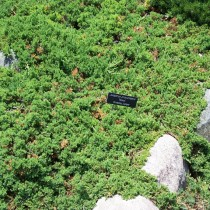 Можжевельник лежачий, или склоняющийся (Juniperus procumbens)
