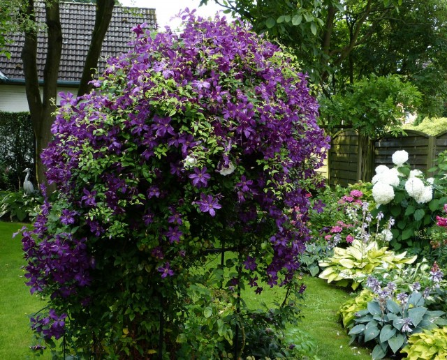 Клематис на опоре в саду