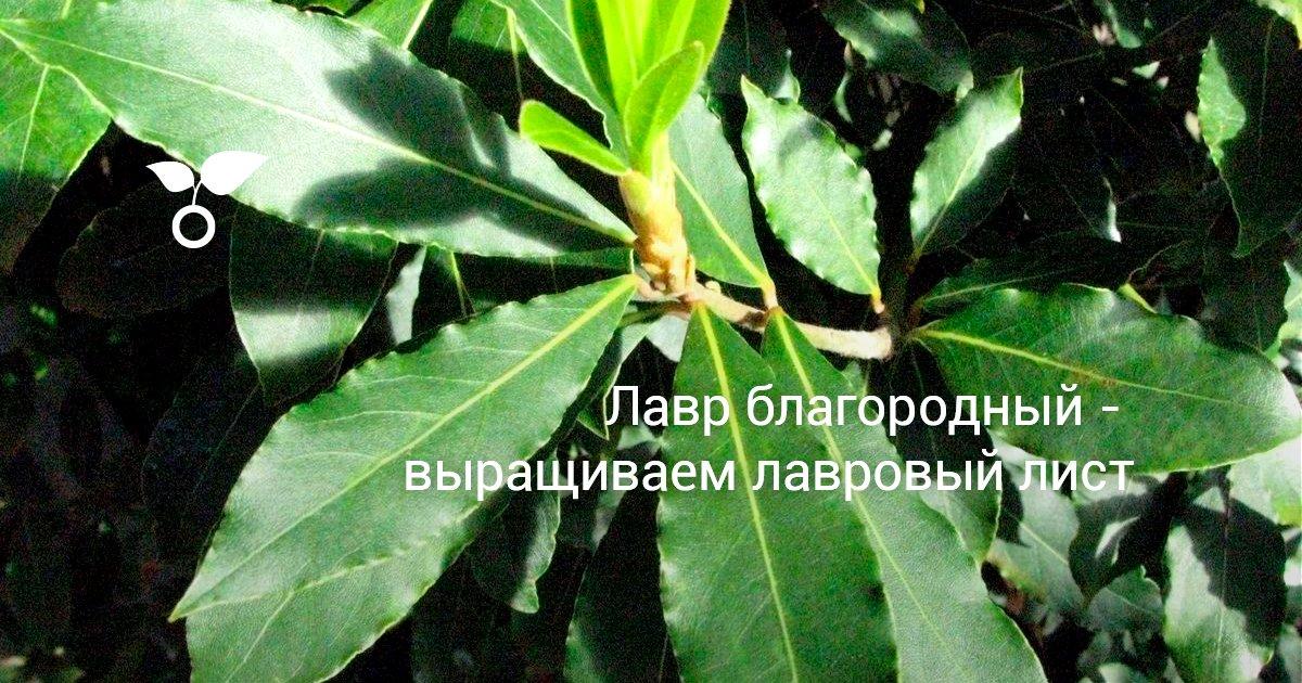 Как выглядит дерево лаврового листа