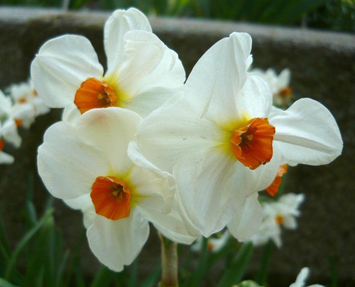 Narcissus-Cragford-1