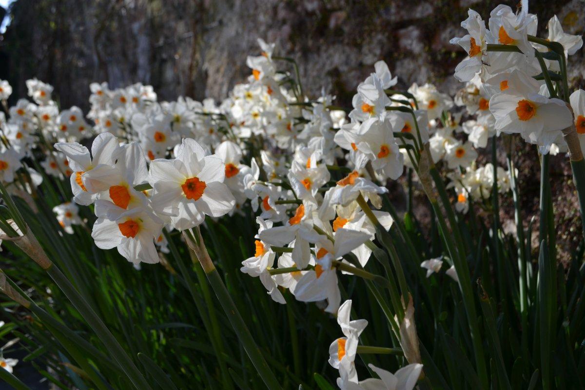 Narcissus-Cragford-2