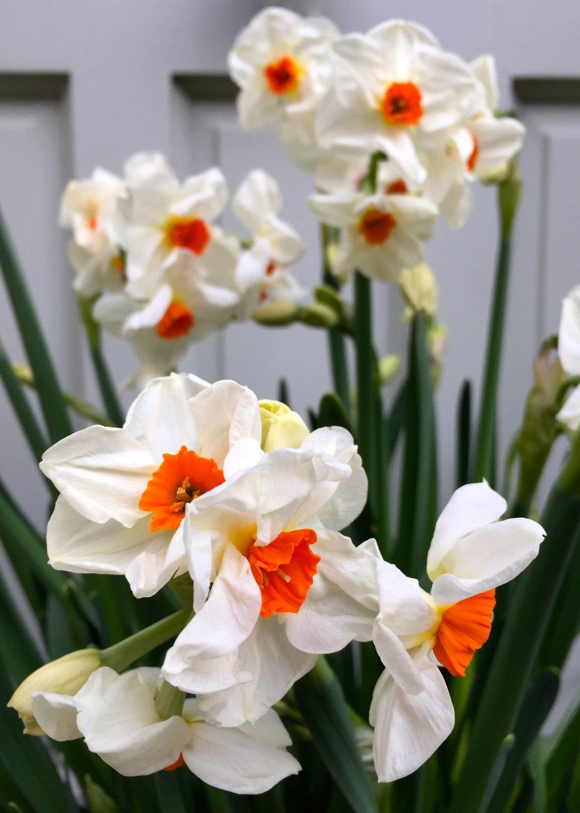 Narcissus-Cragford-3