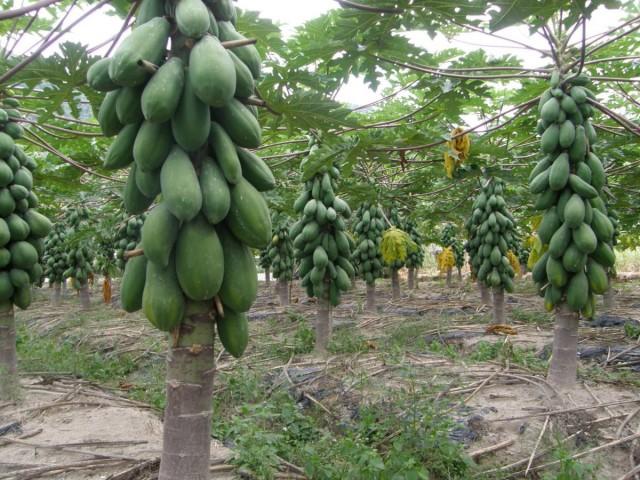 Выращивание папайи, или дынного дерева на плантации (Carica papaya)