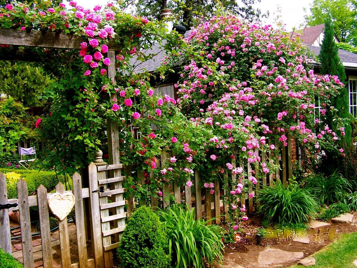 сетью плетущиеся розы в саду фото тему микеланджело