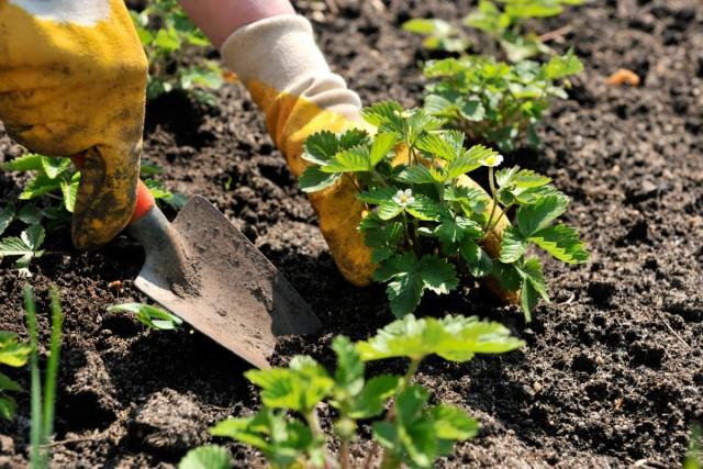 Посадка земляники садовой (клубники)