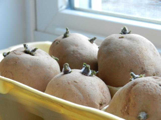 Проращивание и озеленение клубней картофеля