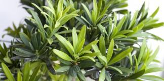 Подокарп крупнолистный (Podocarpus macrophyllus)