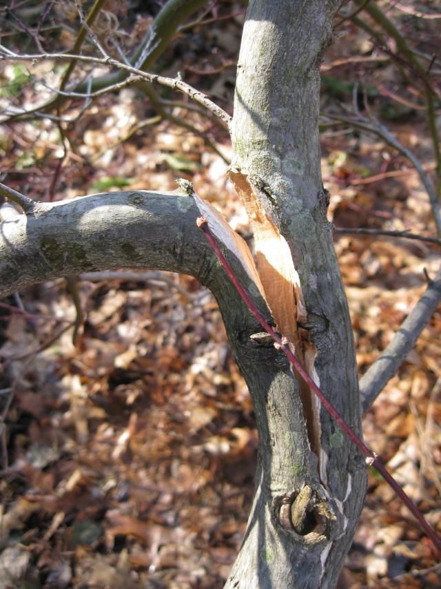 Расщепление ствола дерева после зимы