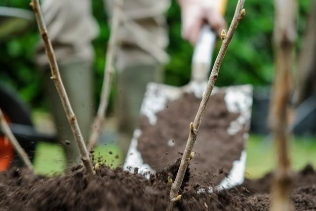 Очистка и улучшение структуры почвы в зоне куста смородины