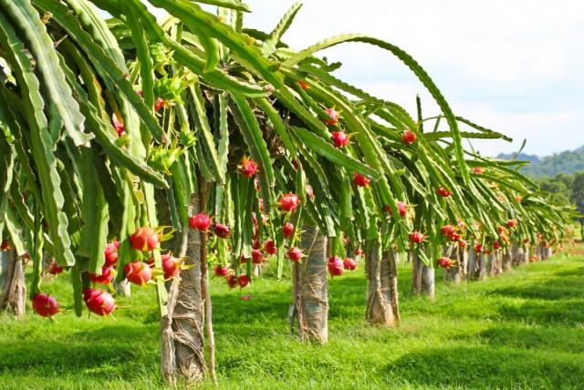 Плантация гилоцереусов, растений, дающих плоды питахайя