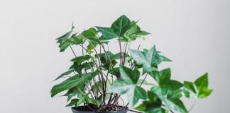 Комнатное растение плющ
