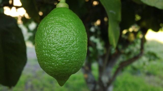 Зеленый лимон на дереве