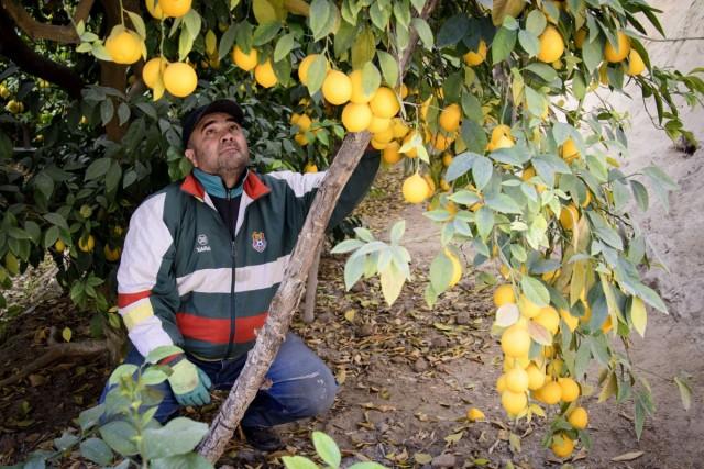 Культивация лимонов на плантациях в Таджикистане