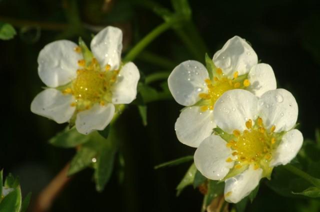 Клубника цветет