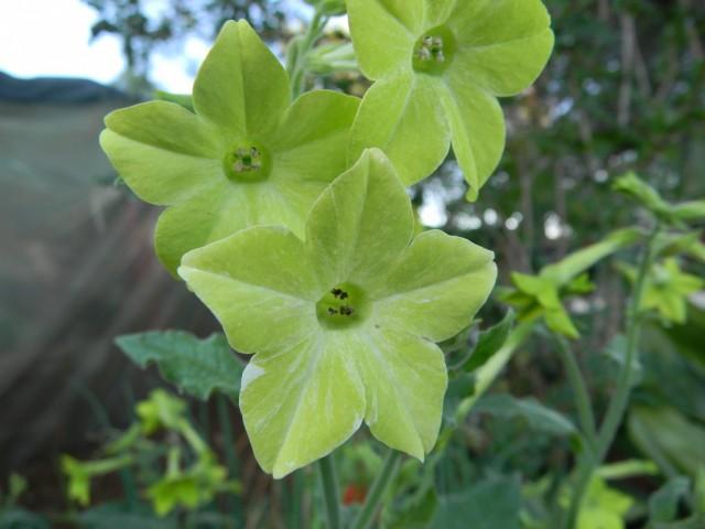 Цветы табака