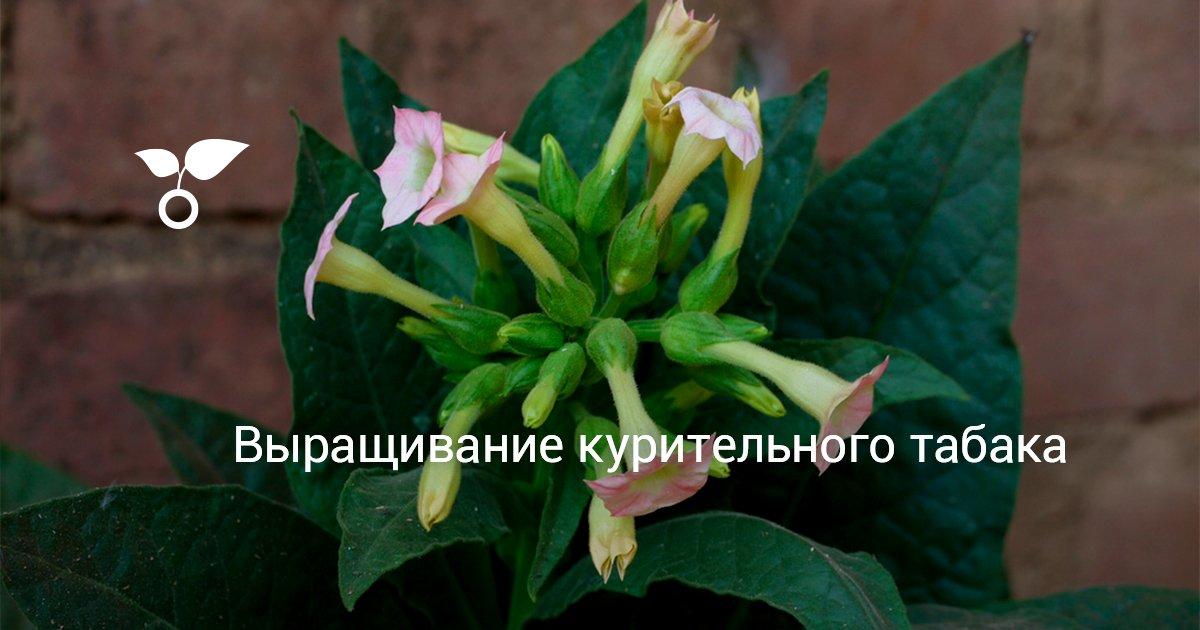 Как выращивать семена табака