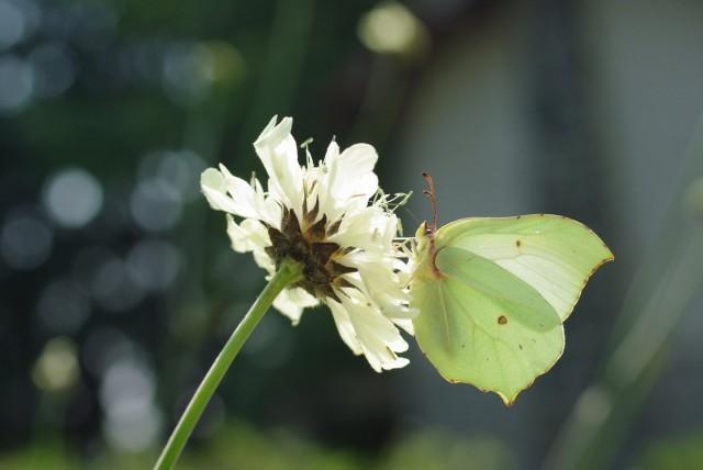Цефалярия - магнит для бабочек