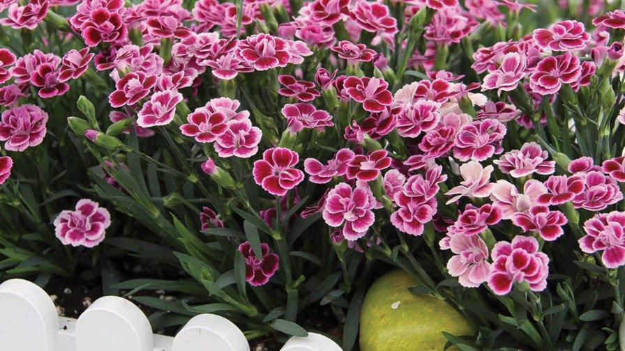 Dianthus-Pink-Kisses-2