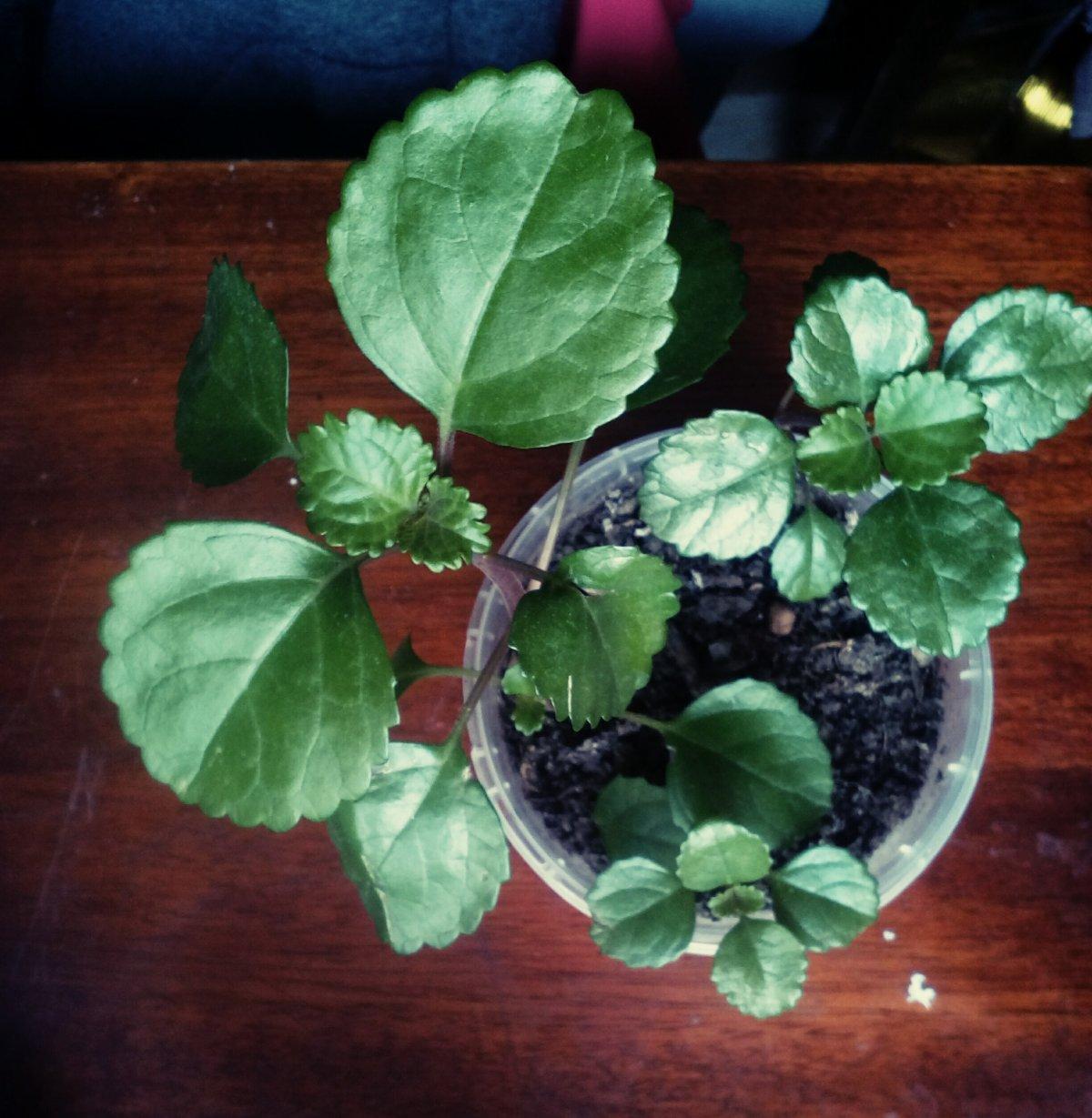#1 листья блестящие, гладкие.