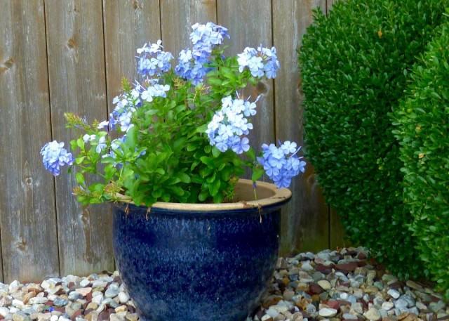 Комнатную свинчатку летом можно выносить в сад
