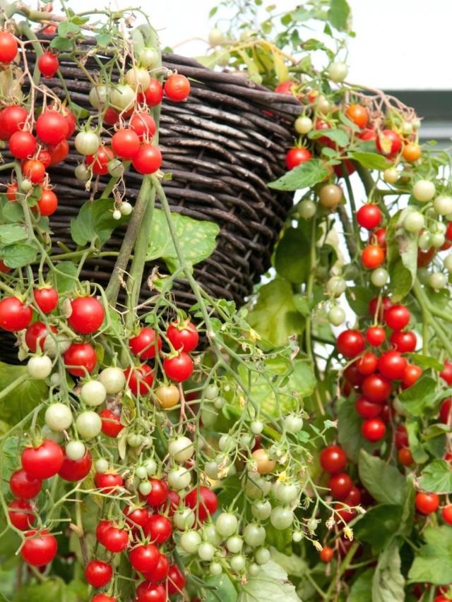 Ампельные томаты черри