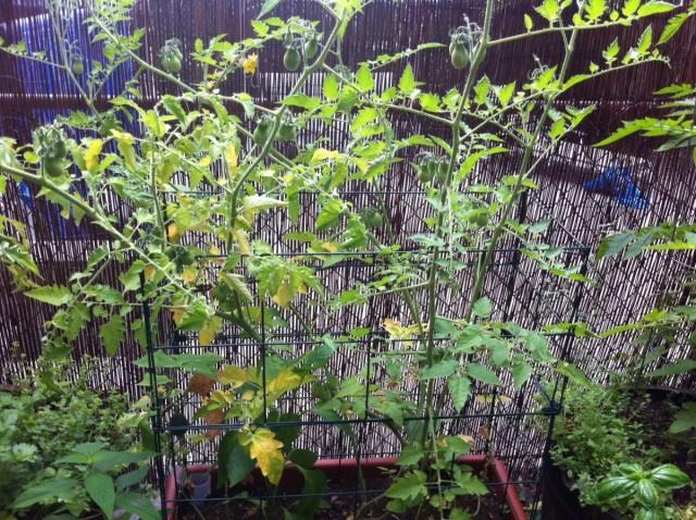 Болезненный вид томатов может быть вызван и другими причинами: дефицитом влаги, например