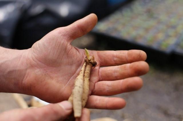 Маленький, но жизнеспособный корне-клубень георгины